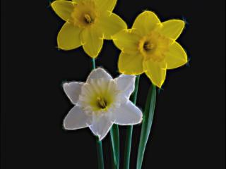 3 Daffodills