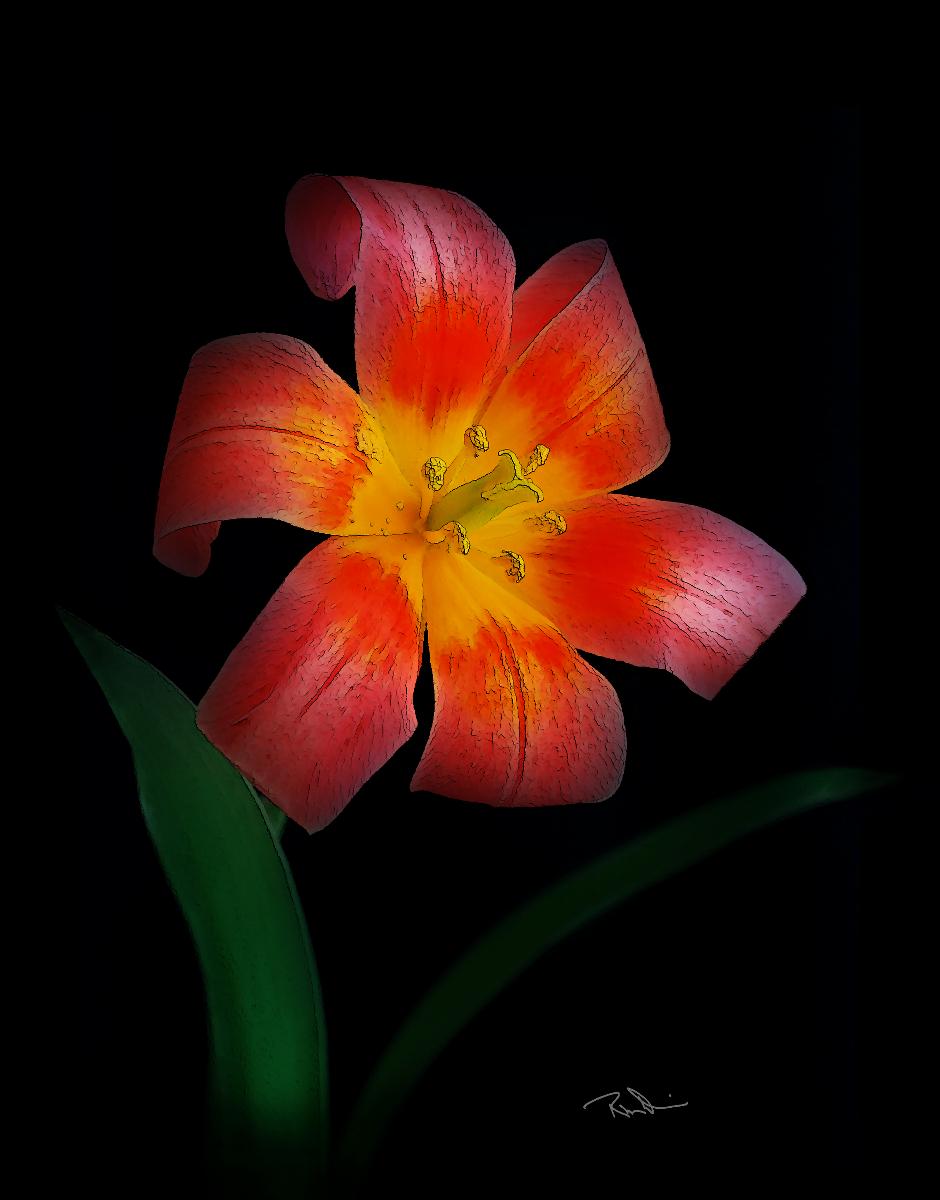 Rock Tulip
